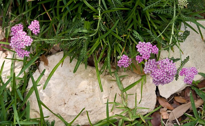 20090514_yarrow-purple1653
