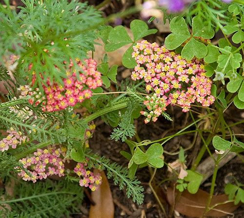 20090514_yarrow-red1661